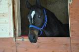 Konie za bezcen. 140 koni trafi na licytację komorniczą już 31 marca w Wiączyniu Dolnym pod Łodzią