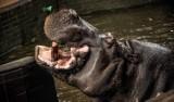 Nie żyje hipopotam Hipolit z chorzowskiego zoo - najstarszy hipopotam nilowy w Europie