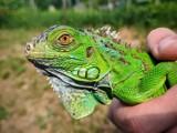 Sezon na porzucanie zwierząt egzotycznych? W Chełmie odłowiono legwana zielonego