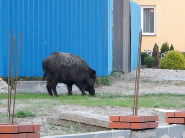 W niektórych miastach dziki stanowią duży problem.
