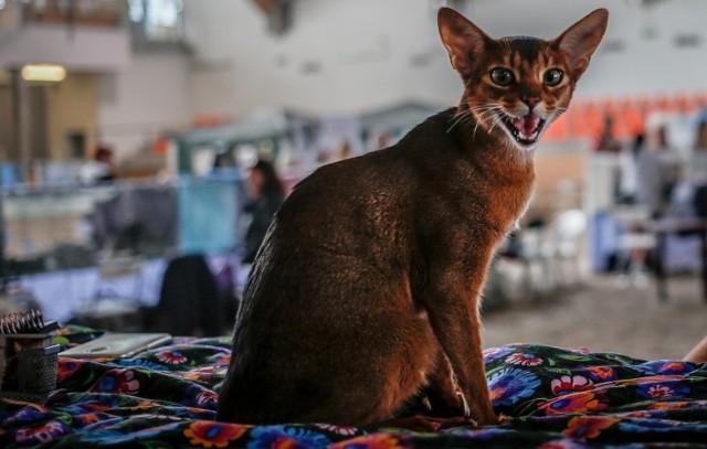 Wystawa Kotów Rasowych 2019 odbędzie się w hali AWFiS. Na zdjęciu: letnia wystawa kotów rasowych na sopocki hipodromie - lipiec 2018.