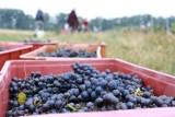 Ciężko pracują w winnicy pod Krosnem Odrzańskim. Trwa winobranie. Jak wyglądają zbiory w 2020 roku?