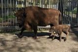 W Gołuchowie na świat przyszły dwa żubry. ZDJĘCIA