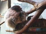 Nowy mieszkaniec warszawskiego ZOO. W praskim ogrodzie zoologicznym urodził się leniwiec [ZDJĘCIA]