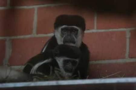 Małpki przeszły już aklimatyzację i czują się naszym zoo coraz lepiej.