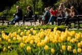 W sobotę gdańszczanie posadzą tulipany w mieście