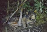 W Łódzkiem odratowano samicę wilka, która wpadła we wnyki. Trafiła do schroniska w Wojtyszkach w powiecie sieradzkim (zdjęcia)