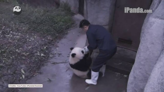 Panda gosposia? Zobacz, co wyprawia to zwierzę