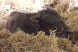 Zoo w Poznaniu ma nowego mieszkańca - to mały żubr. Jego rodzicami są Postka i Duduś
