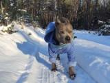 Leszno. Zimowe zdjęcia zwierząt naszych Czytelników. Psy i koty uwielbiają śnieżne zabawy [ZDJĘCIA]