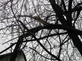 Strażacy w Żorach usuwali wyrwane z korzeniami drzewo