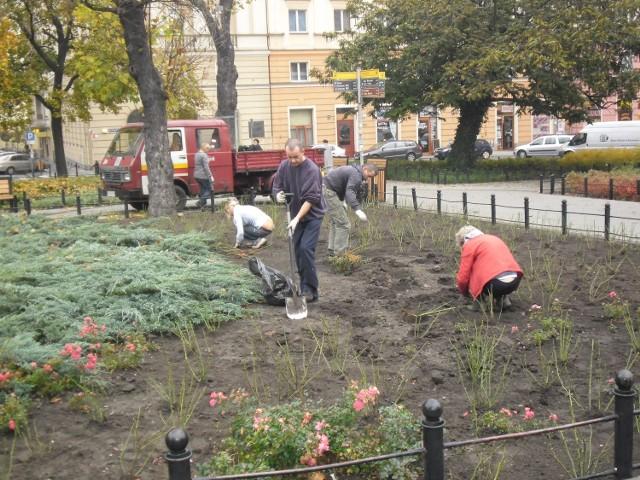 W Poznaniu sadzą róże i śnieguliczkę na placu Ratajskiego