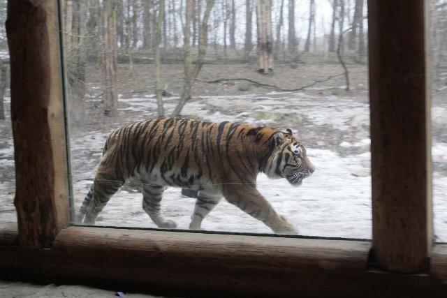 Może tygrys?