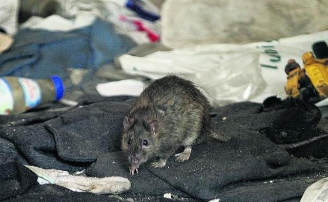 Szczur w baraku przy ul. Kościuszki. Urzędnicy nie potrafią zdycyplinować właściciela posesji