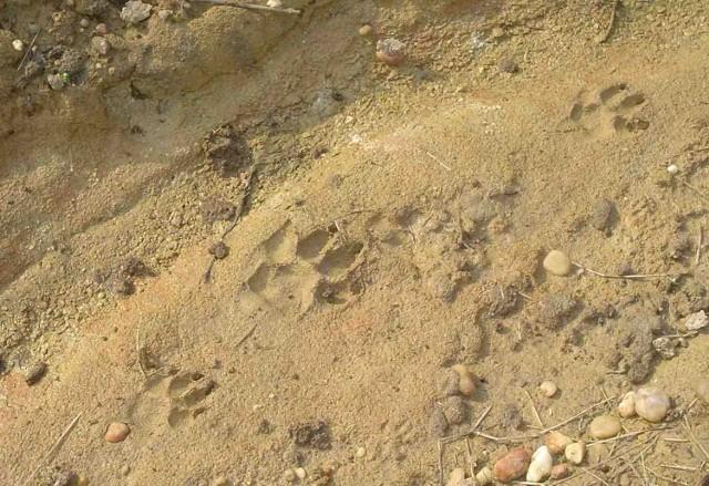 Ślady dużego drapieżnika znaleziono też pod Lublińcem