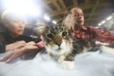 Międzynarodowa Wystawa Kotów Rasowych w Łodzi. 300 kotów 30 ras w hali UKS Anilana [ZDJĘCIA]