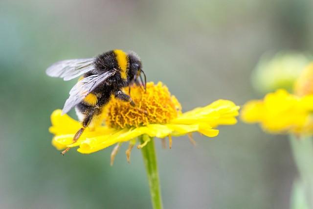 Owady takie jak jak: osy, pszczoły, trzmiele czy szerszenie zwykle nam nie zagrażają, ponieważ atakują przeważnie w samoobronie. Jednak, gdy dojdzie do użądlenia mogą pojawić się bardzo nieprzyjemne dolegliwości. Warto więc wiedzieć, jak je złagodzić. Nieco bardziej uciążliwymi owadami są meszki, kleszcze i komary, dla których nasza krew stanowi ważny składnik diety. Dowiedz się, co zrobić po użądleniu!