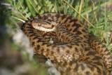 Uwaga na żmije! Zrobiło się ciepło, węże pojawiły się w lasach i na terenach zielonych!