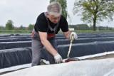 Rozpoczął się sezon na szparagi. Pan Grzegorz z Borui Kościelnej pokazuje krok po kroku, jak wygląda uprawa i zbiory szparagów