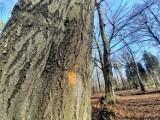 Jest wniosek o ustanowienie użytku ekologicznego w Lasach Murckowskich. Dotyczy 13 hektarów. Ma chronić stare buki przed wycinką