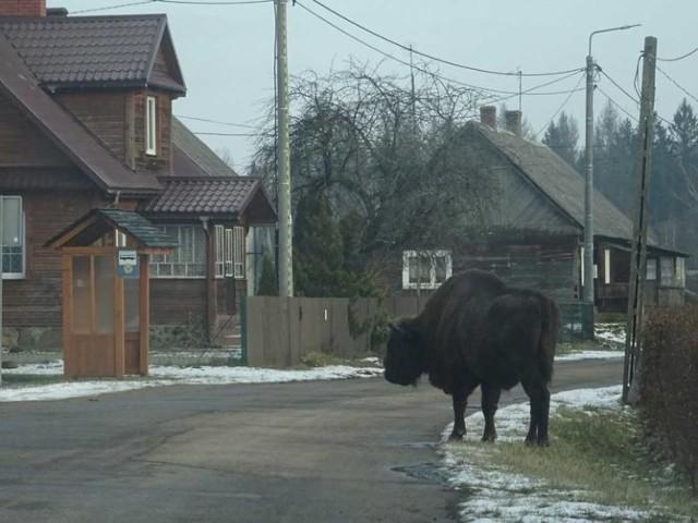 Nie żyje słynny żubr Wojtek ze wsi Budy. Przechadzał się po mieście, zmarł po wywiezieniu do puszczy