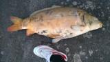 Katowice. Śnięte ryby w Dolinie Trzech Stawów. Martwych zwierząt było mnóstwo. Co się stało?