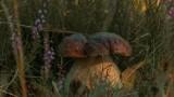 Takie grzyby można znaleźć w lasach pod Aleksandrowem Kujawskim! Cóż za okazy! Zobaczcie zdjęcia naszych Czytelników