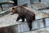 Niedźwiedzica Tatra odeszła. Co dalej będzie z wybiegiem dla miśków na Pradze