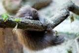 Krakowskie zoo ma nowego mieszkańca. To Hugo - młody urson amerykański. Słodki?