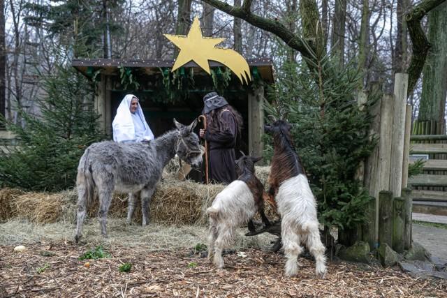 Żywa szopka w krakowskim zoo. Szopkę można oglądać codziennie, od 12 do 14, do końca bożonarodzeniowego weekendu