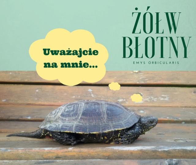 Regionalna Dyrekcja Lasów Państwowych w Lublinie. Kierowco uwaga! Żółwie błotne!