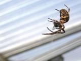Jak walczyć z pająkami w domu? Skuteczne sposoby na pająki!