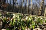 Śnieżycowy Jar dostępny w marcu tylko w weekendy