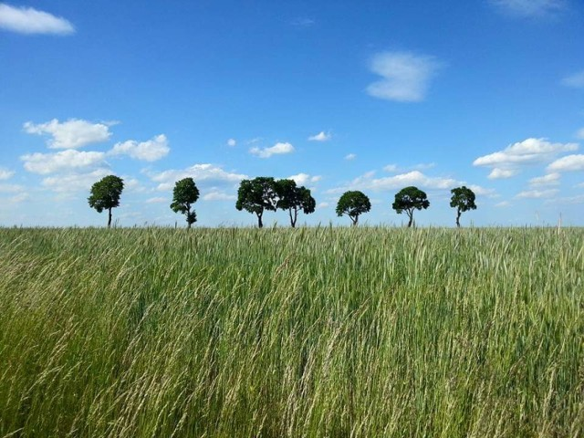 Moje ulubione drzewa w polach przy drodze między Gronowicami a Trębaczowem