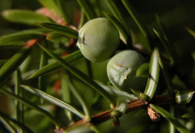 Jałowiec pospolity - niedojrzałe szyszkojagody / Juniperus communis