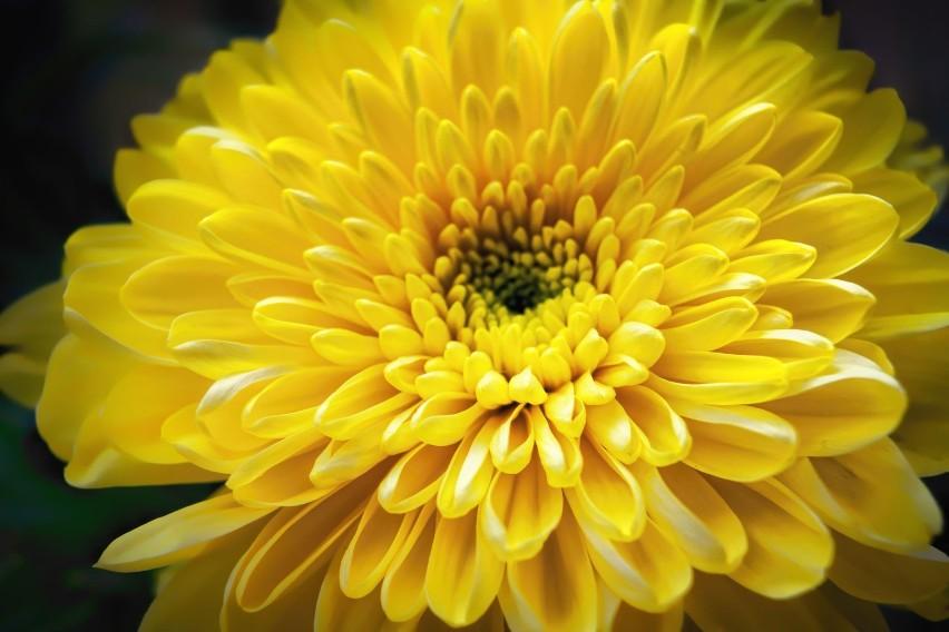 Ten niepozorny kwiat ozdobny, który często kupujemy w...