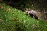 Tatry. Niedźwiedzie wędrują po szlakach. Ostatnio widziano jednego na Kondratowej