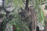 Puma Nubia wygląda na bardzo zadbaną - twierdzi dyrektor zoo w Chorzowie. Jej opiekun zostanie tam wolontariuszem