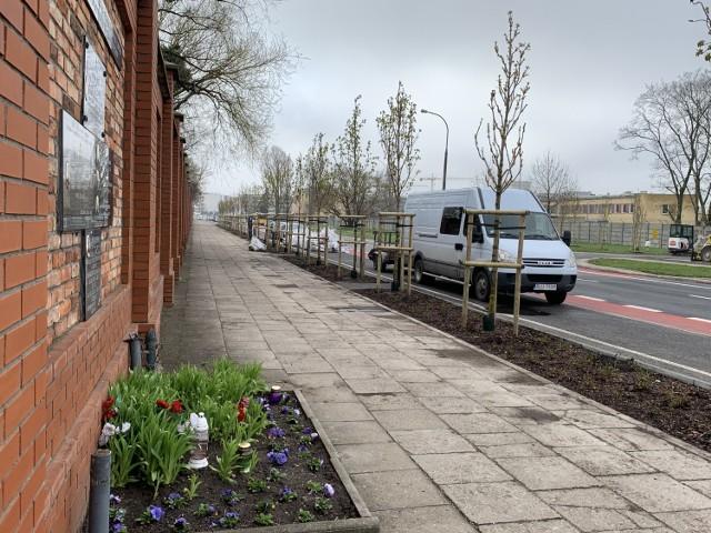 Drzewa posadzono obok muru cmentarza oraz przy parkingu płatnym