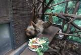 Para leniwców z zoo w Łodzi dostała talerz smakołyków z okazji ich święta. Światowy Dzień Leniwca. ZDJĘCIA