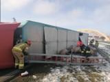 Na autostradzie przewróciła się ciężarówka przewożąca trzodę