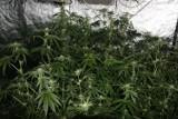 Brańsk. W domu urządził sobie plantację marihuany. 44-latek wpadł, bo zgłosił interwencję [ZDJĘCIA]