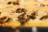 Wielki Dzień Pszczół przypada 8 sierpnia. Co im zawdzięczamy?