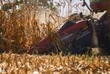 Kukurydza sypie dość dobrze, ale jest mokra. Rolnicy o zbiorach 2021