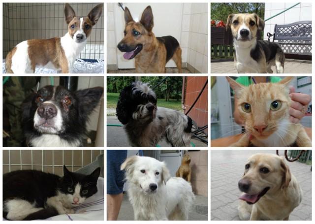 Misją Schroniska dla Zwierząt w Bydgoszczy jest opieka nad pozbawionymi domu psami i udomowionymi kotami, które dom utraciły. Niestety, w okresie wakacyjnym ilość zwierząt w schronisku wzrasta. Niektóre przez przypadek wydostały się z domu czy mieszkania, inne zostały celowo porzucone... Każda klatka, każdy boks to osobne imię, charakter i historia. Zobacz zwierzaki, które zostały w ostatnim czasie przyjęte do schroniska w Bydgoszczy.   Może rozpoznasz swojego kota lub psa, który Ci uciekł? A może jakiś zwierzak po prostu Ci się spodoba i zechcesz go przygarnąć...?   Zobacz zdjęcia >>>