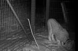 Do naszych lasów wracają największe koty żyjące w Polsce