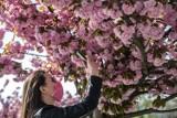 Kraków. Miasto kwitnących czereśni. Bajkowe widoki pod Wawelem, wiosna w pełnej krasie