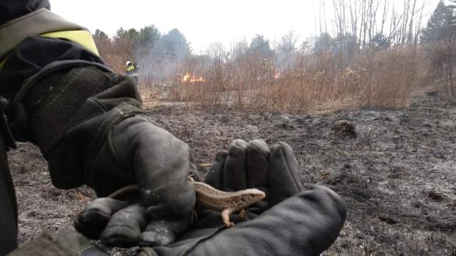 Strażacy z Libiąża gaszą pożary traw