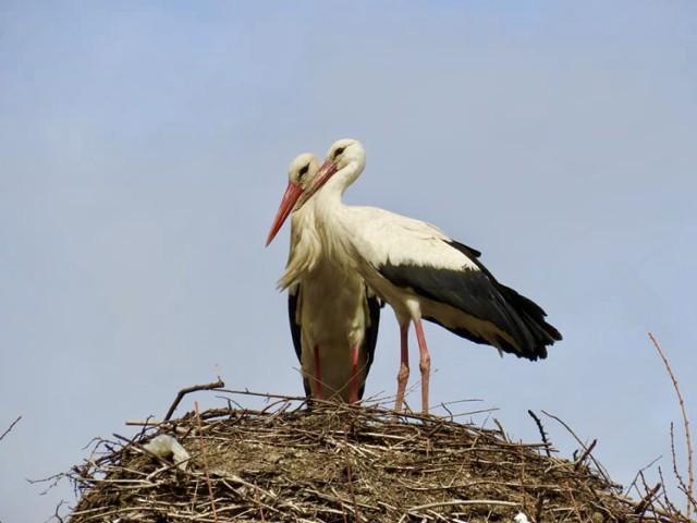 Bociany i inne ptactwo w Muszynie