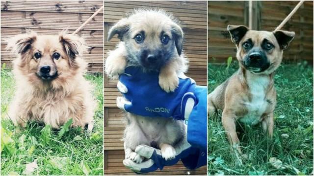 Pieski czekają w schronisku na nowych opiekunów, którzy zapewnią im dom pełen ciepła i miłości